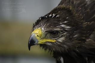 Tempest the Tawny Eagle