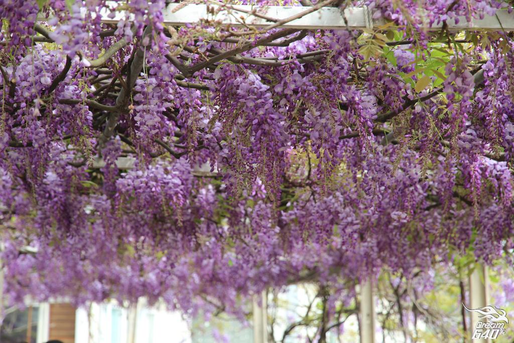 淡水紫藤咖啡園33