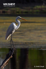 animal, fauna, little blue heron, great egret, heron, pelecaniformes, beak, bird, wildlife,