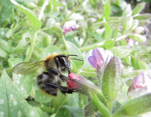 728 Bee feeding on a Pulmonaria - Lungwort