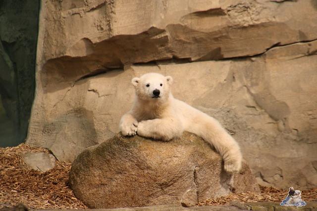 Eisbär Lili im Zoo Bremerhaven 30.04.2016 Tei 1  38