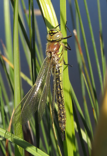 Hairy Dragonfly Brachytron pratense Tophill Low NR, East Yorkshire May 2016