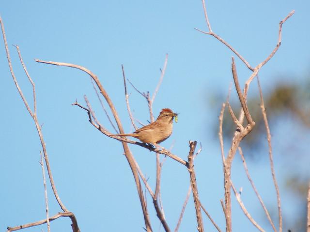 P3089577 - Rufous-crowned Sparrow, Olympus E-300, Sigma APO 50-500mm F4.0-6.3 EX DG HSM