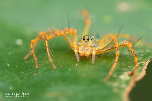 Lynx spider (Hamadruas sp.) - DSC_3574