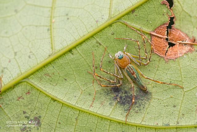 Lynx spider (Hamadruas sp.) - DSC_4018