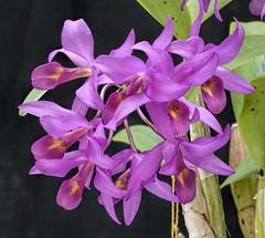 Guarianthe guatemalensis