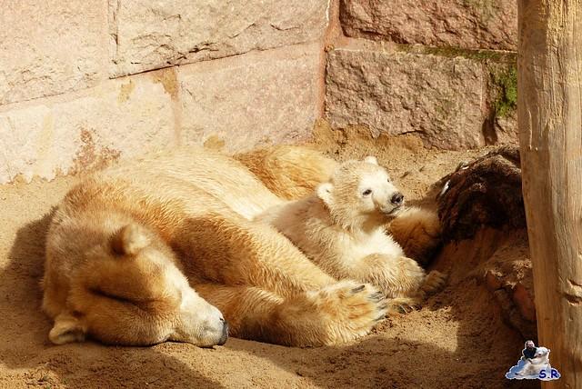 Eisbär Nachwuchs Zoo Rostock 30.03.2015  17
