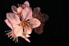 Blossom quartet