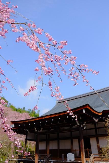 天龍寺 小方丈と枝垂桜