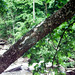 Small photo of American sycamore leaning over water