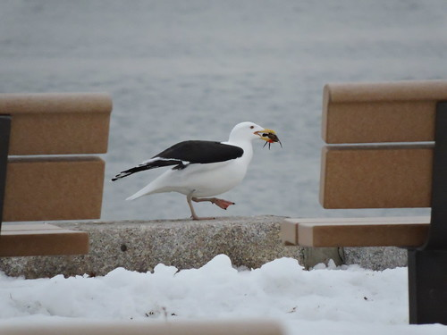 Black-backed Gull #60 (eating)