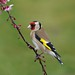 Goldfinch by stanley.ashbourne