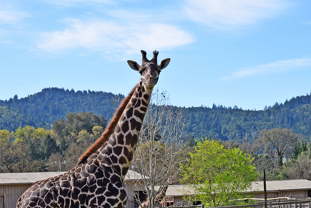 Safari West   Santa Rosa, CA