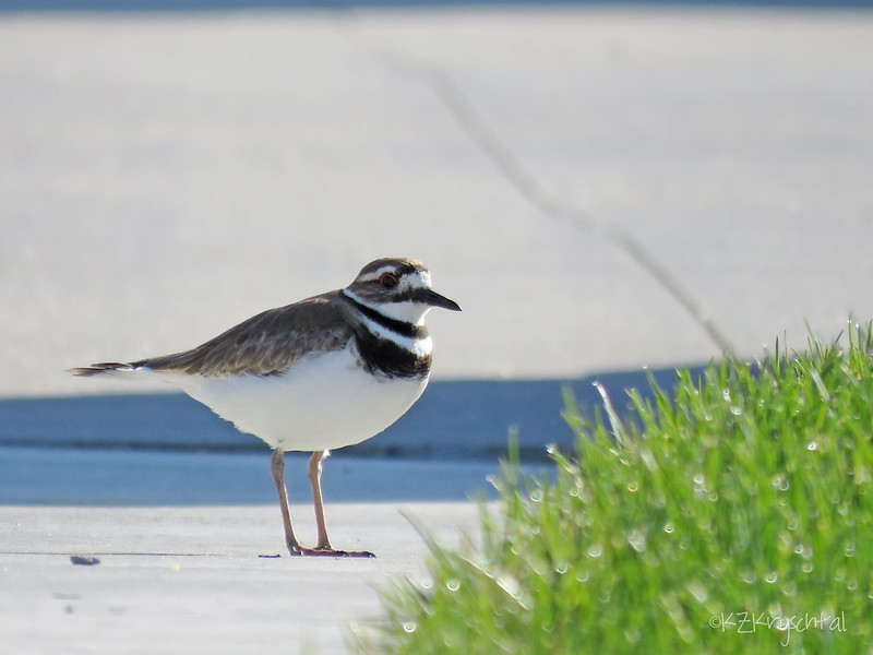IMG_0031Killdeer