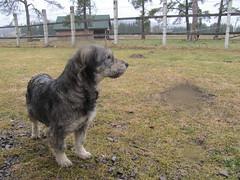 dog breed, animal, dog, pet, tibetan terrier, cã£o da serra de aires, carnivoran,