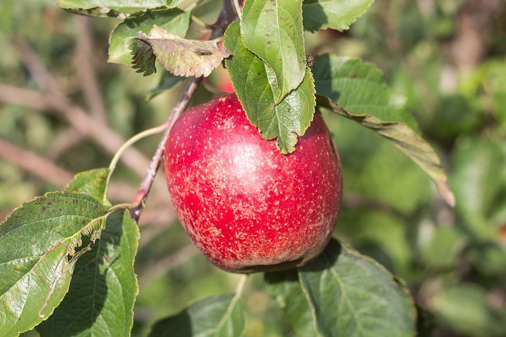 Æblemost (27)