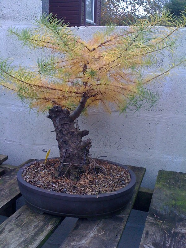 Larch progress 16895688302_495f8656ba_c