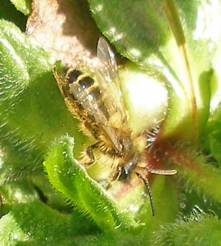 solitary bee March 26