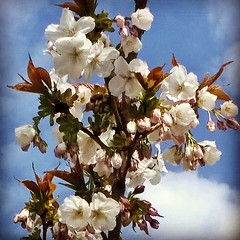 #spring #blossom #bluesky #clouds #London #UK #nature #seasons