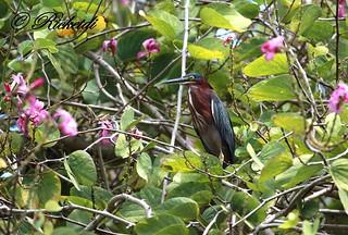 Héron vert- Green heron - Butorides virescens