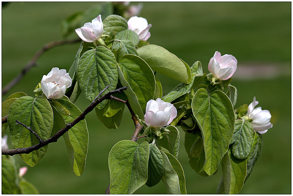 flores del membrillo