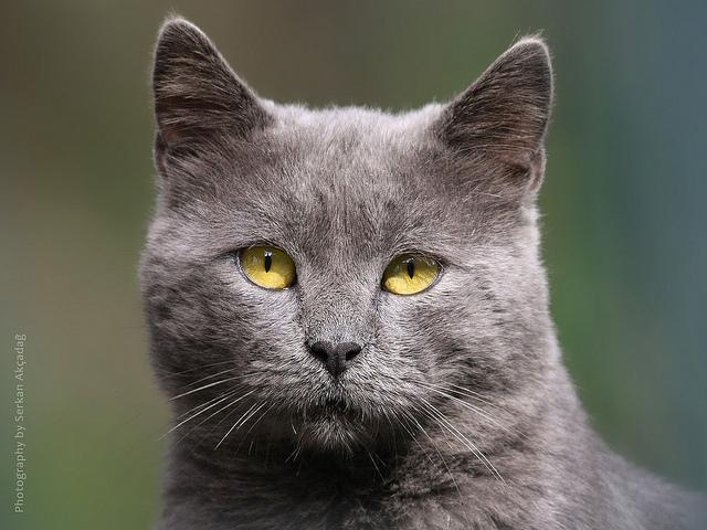 hacer que mi gato no maúlle