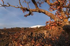 Etna leaves