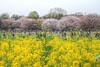 Photo:IMG_1101_1103 国営昭和記念公園 花畑 HDR By vicjuan