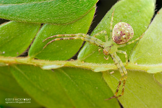 Crab spider (Epidius sp.) - DSC_4988