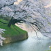 my favorite cherry tree. 千鳥ヶ淵 by cate♪