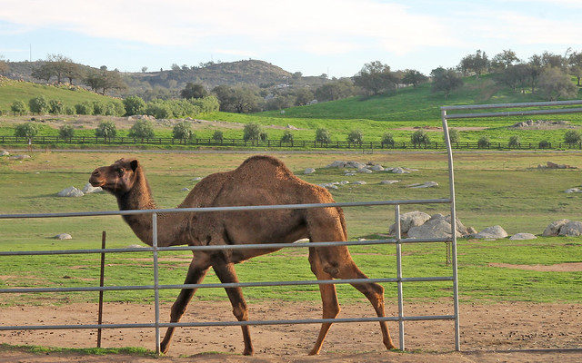 Oasis Camel Farm