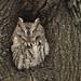 Eastern Screech-Owl by Ryan Schain