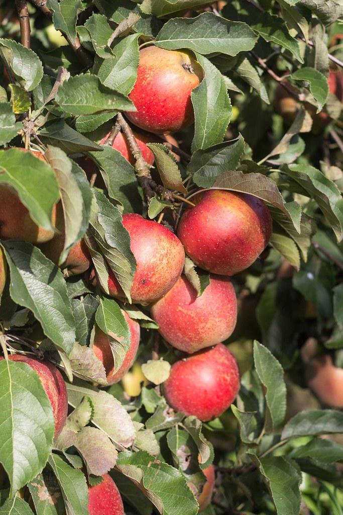 Æblemost (35)