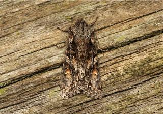 Egira hiemalis - Hodges # 10505