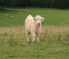 cattle-like mammal, animal, prairie, field, grass, mammal, herd, grazing, fauna, herding, meadow, pasture, grassland,