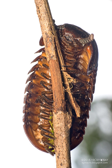 Giant pill millipede (Sphaerotheriida?) - DSC_3981