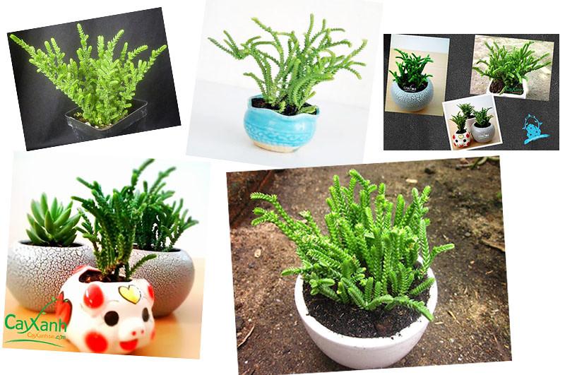 caysenda.com | sen da | xuong rong | tieu canh sen da | art plant | terrarium | truc pico