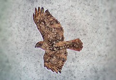 Snowstorm Hawk in Sunnyside , Queens