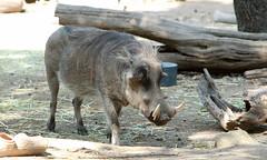 peccary(0.0), recreation(0.0), outdoor recreation(0.0), animal(1.0), wild boar(1.0), zoo(1.0), pig(1.0), fauna(1.0), pig-like mammal(1.0), warthog(1.0), wildlife(1.0),