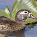 Wood Duck ♀  (Aix sponsa) by Tony Varela Photography