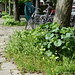 Young urban Hollyhocks conquer the city Amsterdam (with alder clots on the pavement)   - photo of urban wild vegetation