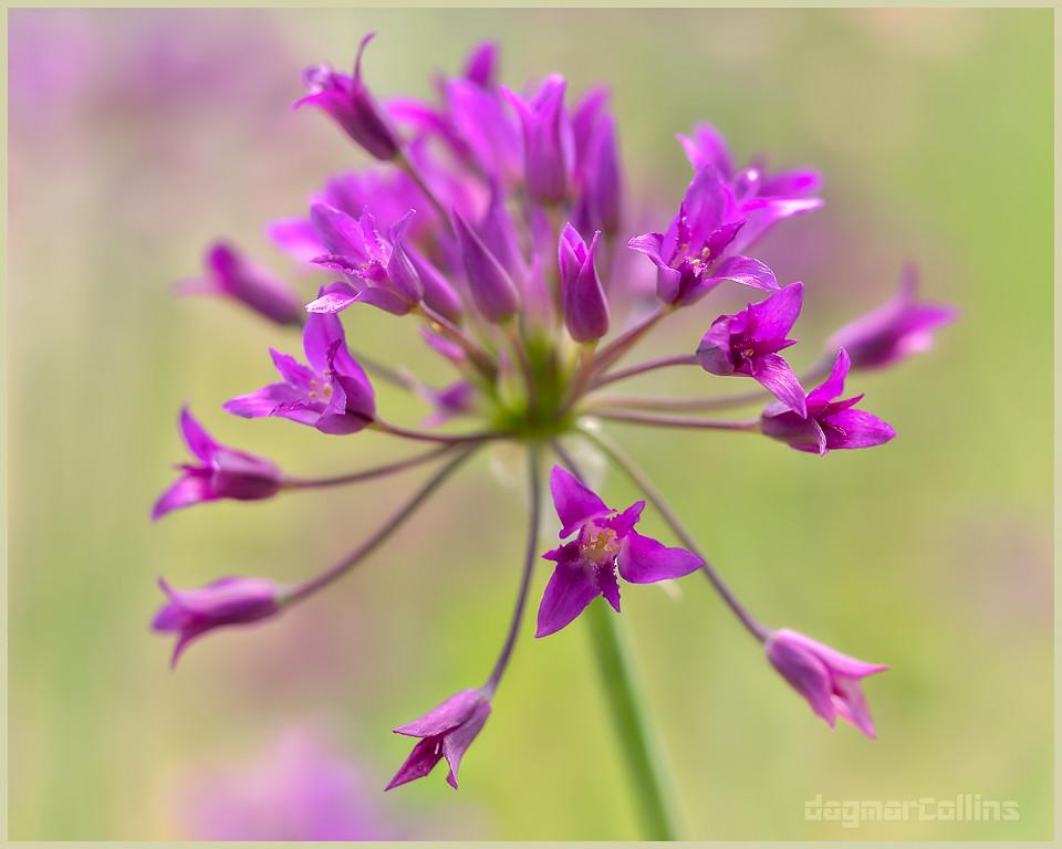 Allium crispum (Crinkled Onion)