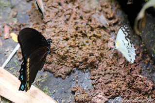 Papilio chrapkowskoides 20150314_48545