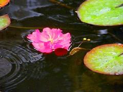 Swimming Pink Flower