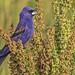 Blue Grosbeak (Passerina caerulea) IMG_0677 by ronzigler