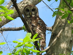 Barred Owl in the City