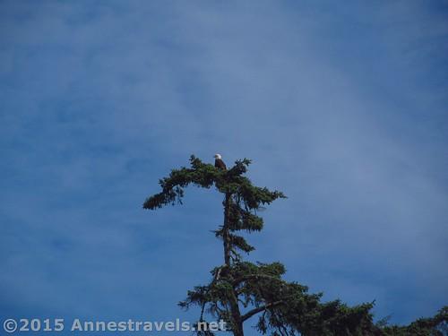 Bald eagle in a tree, Ruby Beach, Olympic National Park, Washington