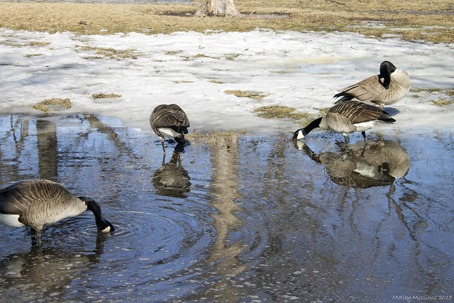 geese in pond 2