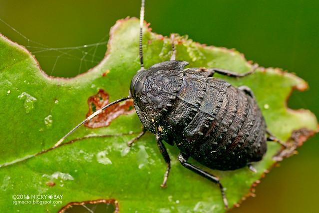 Black armored cockroach (Catara rugosicollis) - DSC_2977