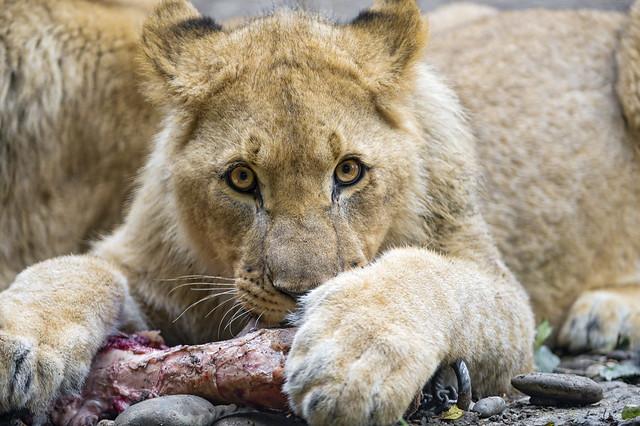 Cub protecting bone